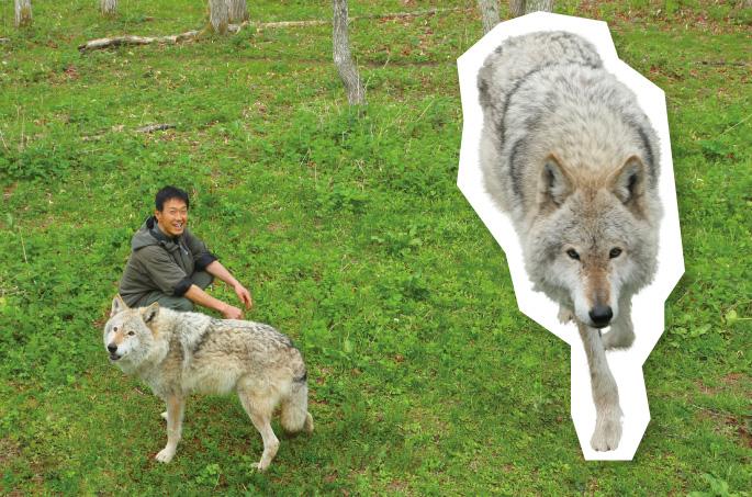 都会から田舎へオオカミで本来の北海道を取り戻す